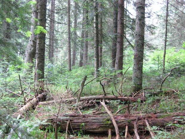 Duboko u šumi, planina Javor, Berkovina